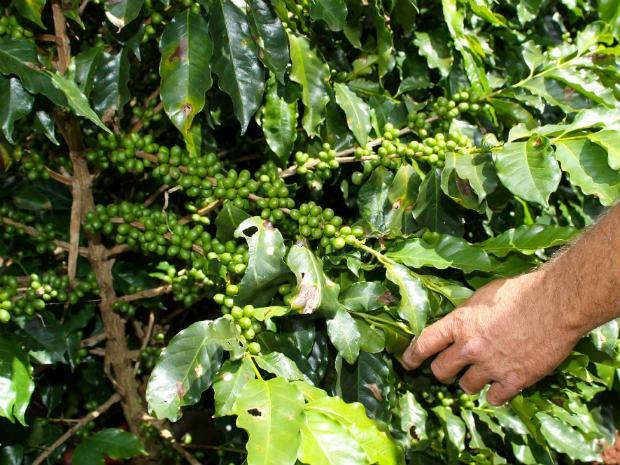 Iapar recomenda que pés de cafés sejam protegidos com camadas de terra. (Foto: Divulgação/AEN)