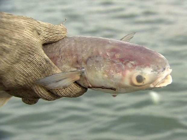 Milhares de peixes aparecem mortos próximo ao Porto de Santos, SP (Foto: Reprodução/TV Tribuna)