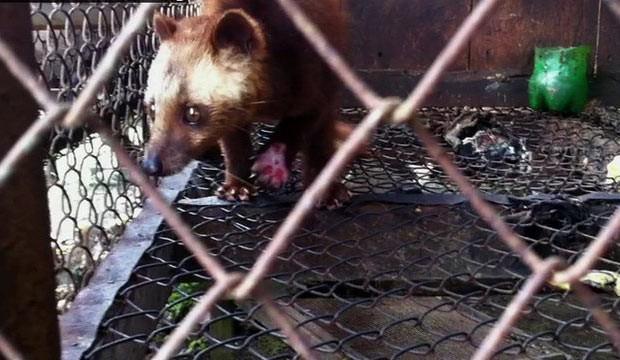 Reportagem da BBC flagra mamíferos que produzem grãos feridos e presos em gaiolas sujas, apertadas e mal cuidadas. (Foto: BBC)