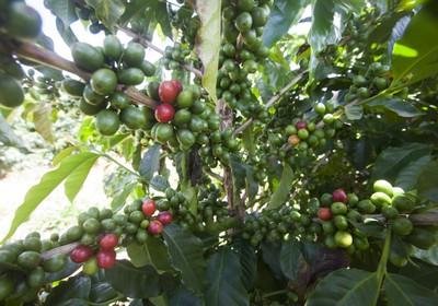 agricultura_cafe (Foto: Marcelo Min/Ed. Globo)
