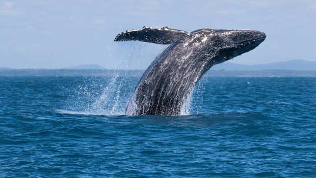 Biólogo flagra salto de baleia-jubarte em arquipélago (Tiago Rodrigues/ VC no TG)