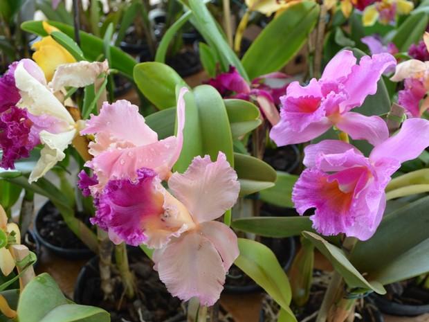 O festival de flores acontece em Cacoal e tem em exposição mais de 200 tipos de plantas. (Foto: Magda Oliveira/G1)