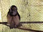 Coruja-de-óculos e outras aves em risco de extinção são apreendidas