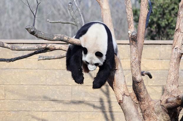 Panda gigante foi flagrado descansando na maior preguiça em uma árvore no zoológico de Hangzhou (Foto: AFP)