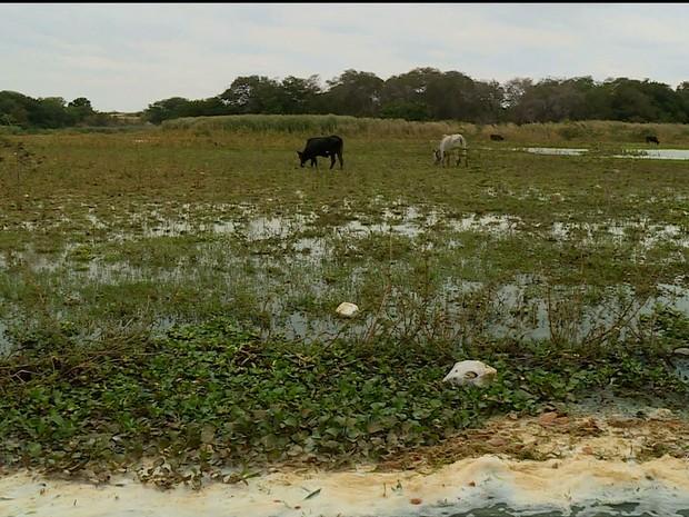 Em alguns pontos do Rio São Francisco está tão raso que as vacas conseguem pastar (Foto: Reprodução/ TV Grande Rio)