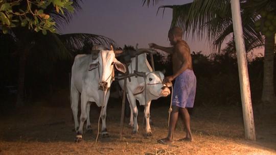 Ataques a animais tiram sossego de criadores de gado no Maranhão