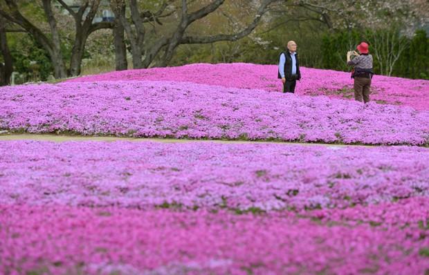 Casal faz retrato em meio as flores rosas (Foto: Kazuhiro Nogi/AFP)