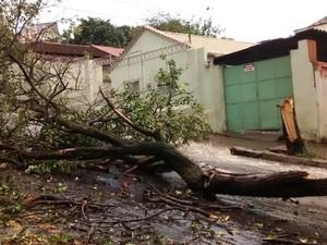 Árvore cai durante chuva com vento em Divinópolis (Foto: Humberto Preihsner/TV Integração)