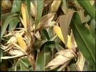Em SP, falta de chuva atrapalha o desenvolvimento do milho