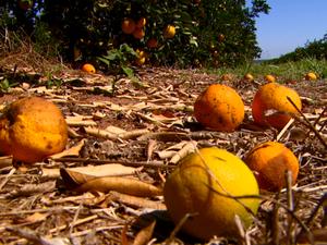 Amarelão impede que frutos se desenvolvam Matão (Foto: Wilson Aiello/EPTV)