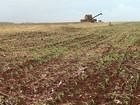 Agricultores estão colhendo a soja e já estão plantando o milho safrinha