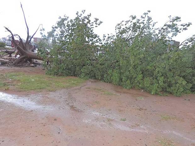 Árvore caiu após chuva e ventos fortes em Luís Eduardo Magalhães (Foto: Edivaldo Braga/Blogbraga)
