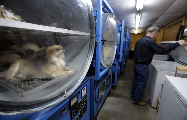 """Um dos profissionais que fazem o 'freeze-drying', Anthony Eddy checa um refrigerador enquanto um cachorro e outros animais mortos estão em uma máquina que realiza o processo de desidratação durante o congelamento, segundo agências internacionais. O método é similar a outro realizado com alimentos perecíveis chamado de """"liofilização"""" (Foto: Jeff Roberson/AP)"""