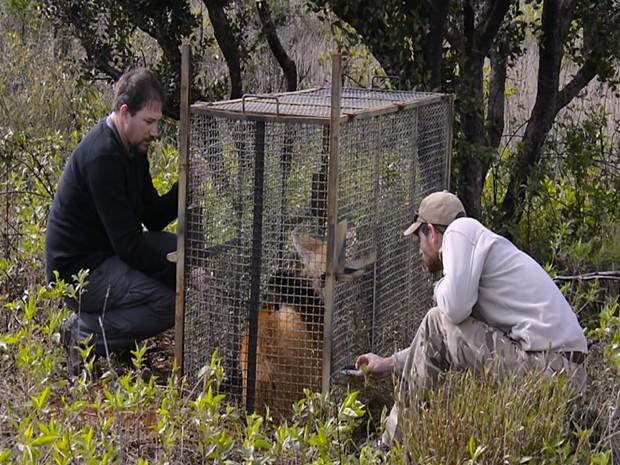 Lobos são sedados para instalação do rádio colar (Foto: Rogério Cunha/Divulgação)