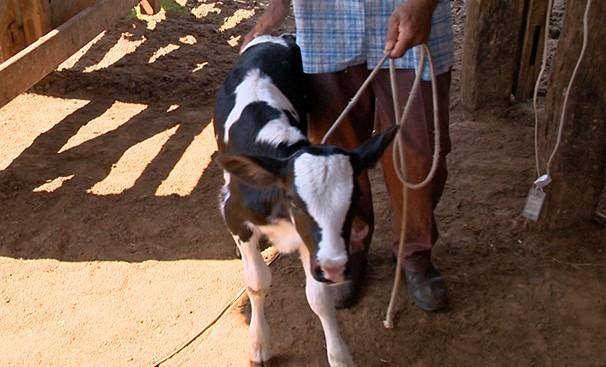 Bezerros recém-nascidos precisam de cuidados especiais (Foto: Reprodução TV Fronteira)