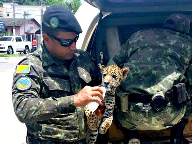 Batalhão ambiental resgatou ao onça, que foi entregue ao Ibama  (Foto: Divulgação/Polícia Ambiental)