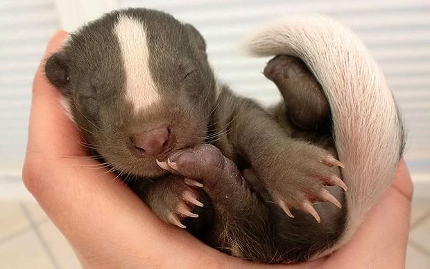 O texugo bebê com a manchinha característica da espécie na cabeça (Foto: Reprodução/onebigphoto.com)