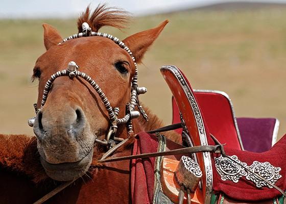 Cavalo com arreio e sela típica local mongol (Foto: © Haroldo Castro/ÉPOCA)