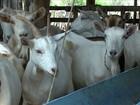 Seca afeta a produção de leite de cabra em Sertânia (PE)