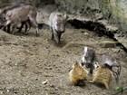 'Melhores amigos', bebê javali brinca com suricates em zoo da Holanda
