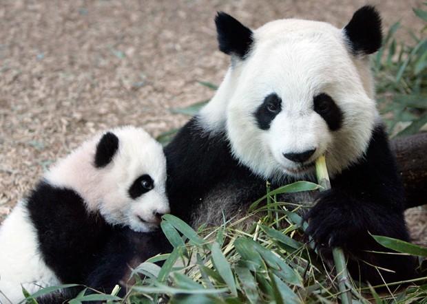 O bambu corresponde a 99% da alimentação dos ursos pandas (Foto: John Bazemore/AP)