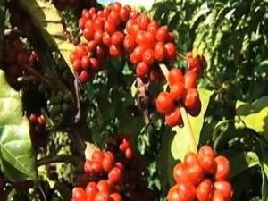Confira a cotação do café no ES (Foto: Reprodução/TV Gazeta)