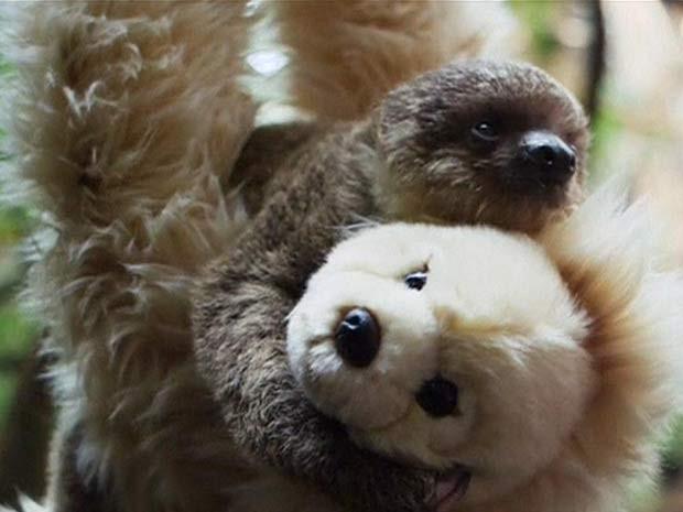 Bebê preguiça de zoo de Londres se aconchega em urso de pelúcia (Foto: BBC)