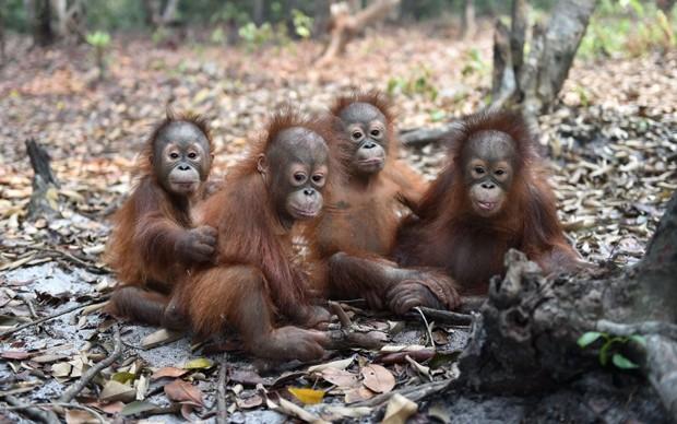 Vítimas de devastação, orangotangos bebês sofreram de problema respiratório (Foto: Borneo Orangutan Survival Foundation (BOSF)/ AFP)