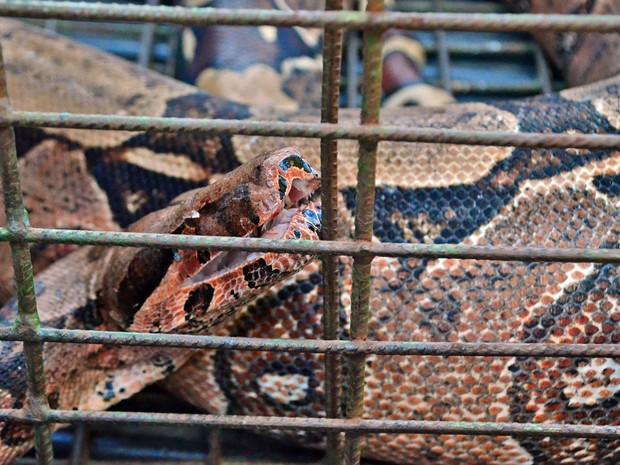 Cobra, de aproximadamente três metros tinha se alimentado com um galo e foi resgatada após população acionar a Polícia Ambiental (Foto: Valdir Pereira/ Polícia Ambiental)