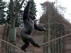 Gorila de zoo da Alemanha caminha na corda bamba e faz acrobacias