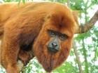 Duas amostras de macacos mortos no ES chegam ao PA para análise