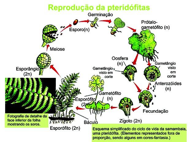 Figura 2: o ciclo reprodutivo da samambaia. (Foto: Reprodução/Colégio Qi)