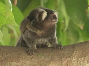Mais duas mortes de macacos por febre amarela foram registradas na Bahia (Foto: Reprodução/TV Bahia)