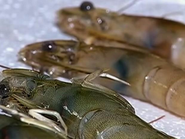 A mancha branca é provocada por um vírus que ataca o sistema imunológico do crustáceo, levando a morte. O camarão infectado fica com pequenas manchas brancas na casca. (Foto: Reprodução/Globo)