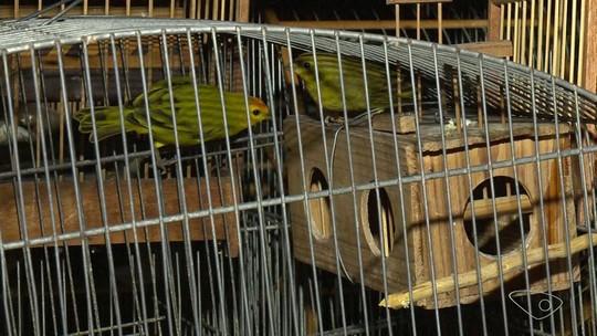 Vinte e um pássaros silvestres são encontrados em cativeiro em Vitória