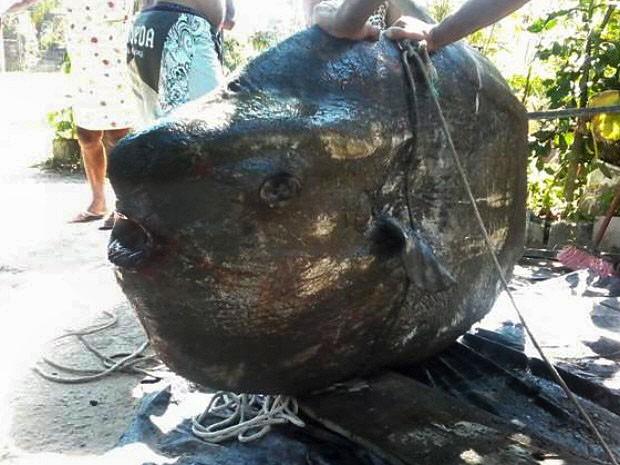 Peixe-lua foi encontrado em praia de Bertioga, no litoral de SP (Foto: Luiz Paulo Valentim/ Arquivo pessoal)