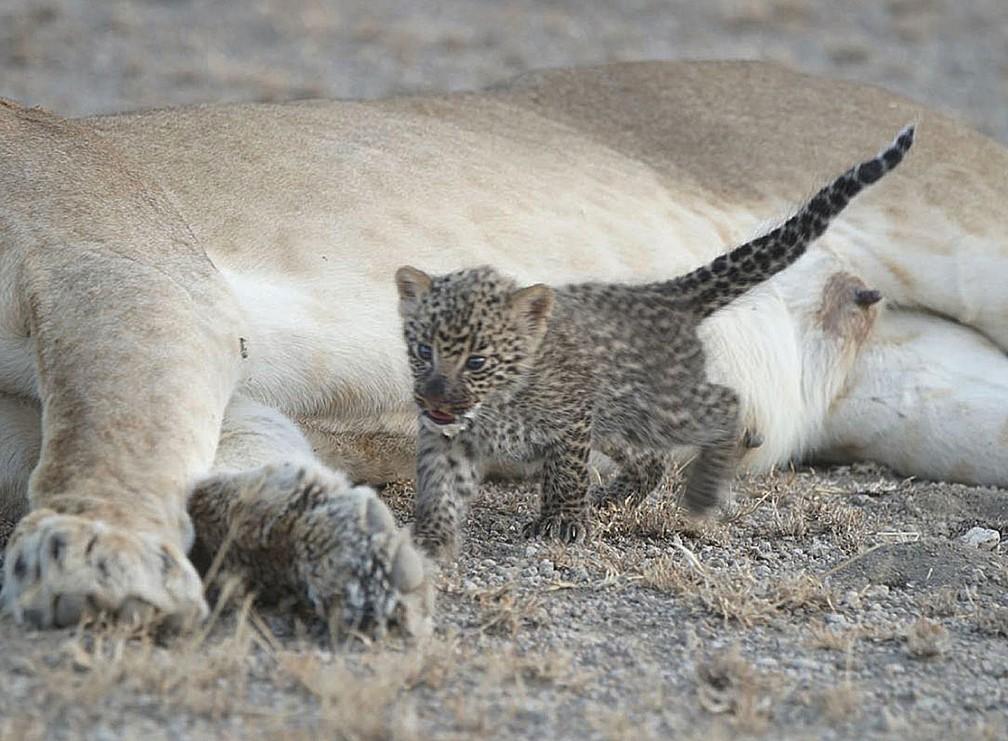 Leoa parece ter perdido filhotes, enquanto leopardo parece ter se perdido da mãe (Foto: Joop van der Linde/Ndutu Safari Lodge via AP)