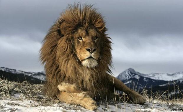 O fascínio causado pelos leões data de priscas eras  (Foto: Thinkstock)