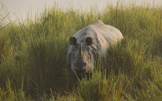 Rinoceronte em um dos programas ainda inéditos da série Planet Earth II (Foto: Divulgação BBC)