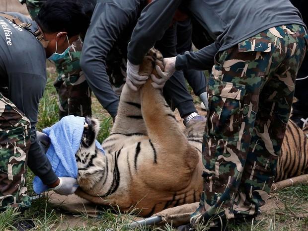 Tigre sedado é levado por uma equipe governamental do templo budista conhecido como 'Templo do Tigre', que atrai turistas pela interação com os grandes felinos em Kanchanaburi, Tailândia. Três tigres foram levados após repercussão mundial de maus tratos (Foto: Chaiwat Subprasom/Reuters)