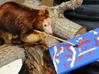 Canguru-arborícola 'pintor' do zoológico de Miami morre aos 27 anos