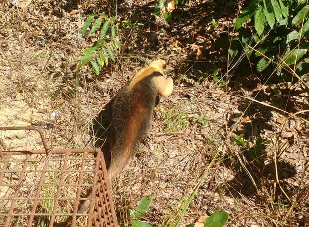 Tamanduá foi devolvido à natureza (Foto: PM Ambiental/Divulgação)