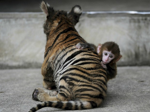 Tigre e macaco 3 (Foto: Reuters)