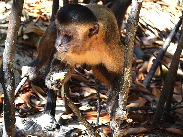 Em Vassouras, turista pode observar e interagir com macacos-prego (Foto: Maurício Araya / G1)