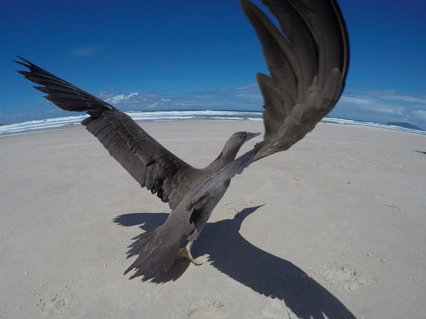 Uma ave da espécie atobá também foi solta de volta ao seu habitat (Foto: R3 Animal/Divulgação)