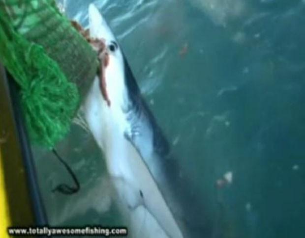 Tubarão faminto atacou rede de pesca no Reino Unido. (Foto: Reprodução)