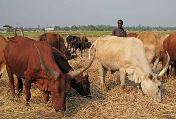 Agricultores de Burundi apostam nos poemas para melhorar a produção de leite (Foto: Esdras Ndikumana/ AFP)