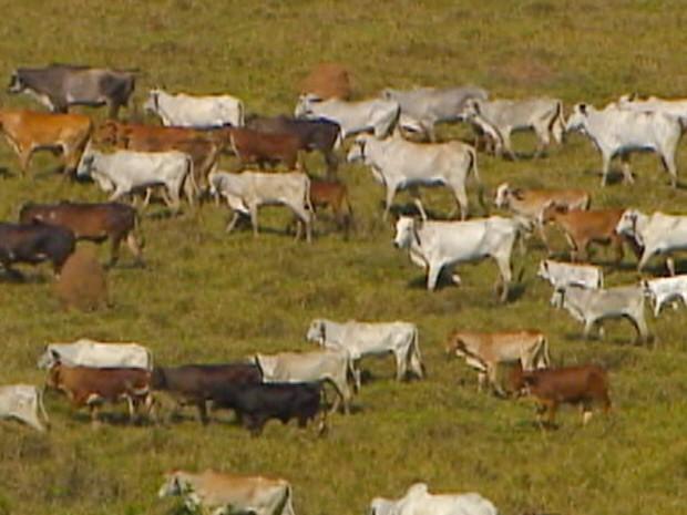 Proprietários de fazendas estão em alerta com roubos a criações de gado em Caçapava. (Foto: Reprodução/TV Vanguarda)