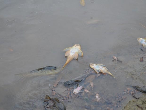 Peixes mortos na margem do rio em Porto Ferreira (Foto: Fabio A. de Souza/Arquivo pessoal)