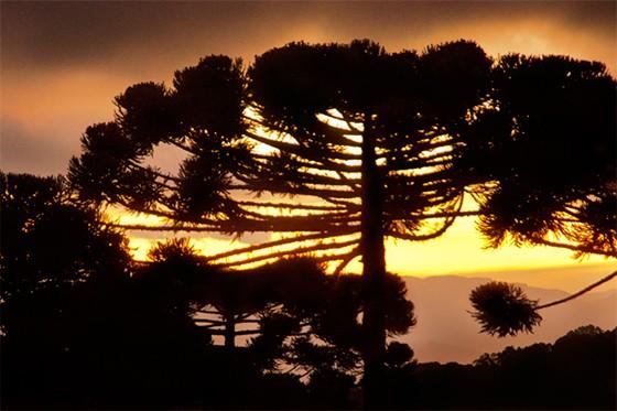 A araucária, na Serra da Mantiqueira, um dos símbolos de Campos do Jordão (Foto: © Haroldo Castro/Época)